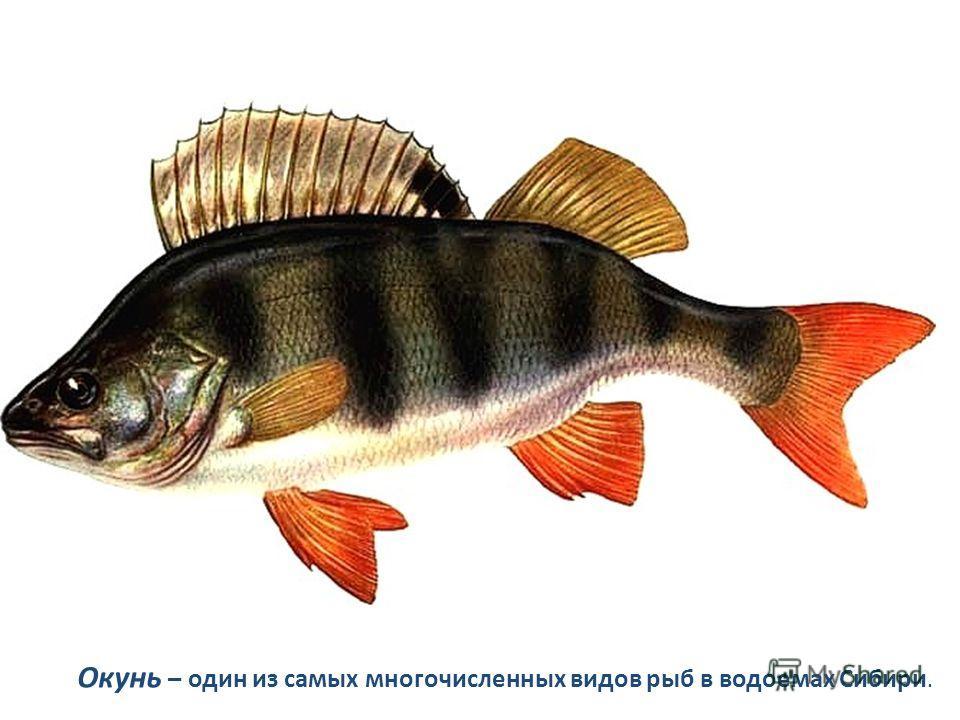 Окунь – один из самых многочисленных видов рыб в водоемах Сибири.