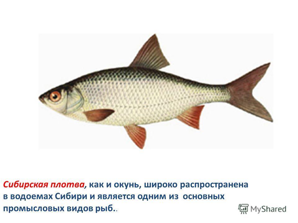 Сибирская плотва, как и окунь, широко распространена в водоемах Сибири и является одним из основных промысловых видов рыб..