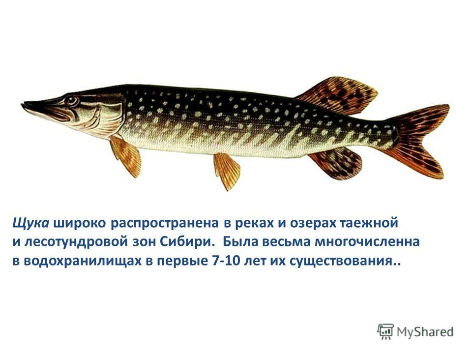Щука широко распространена в реках и озерах таежной и лесотундровой зон Сибири. Была весьма многочисленна в водохранилищах в первые 7-10 лет их существования..