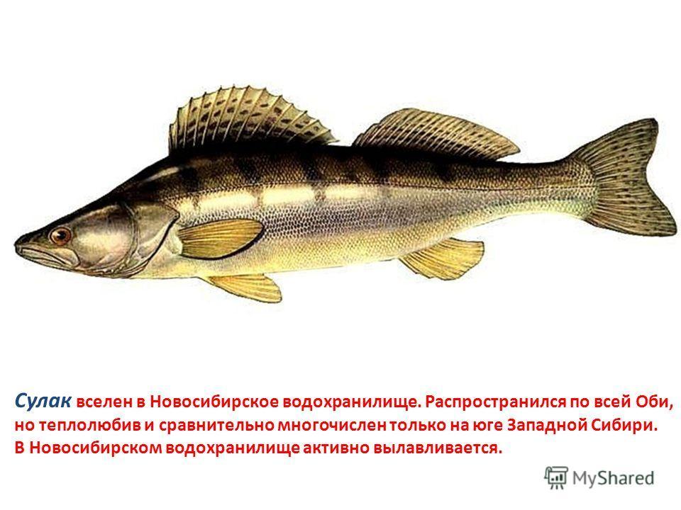 Сулак вселен в Новосибирское водохранилище. Распространился по всей Оби, но теплолюбив и сравнительно многочислен только на юге Западной Сибири. В Новосибирском водохранилище активно вылавливается.
