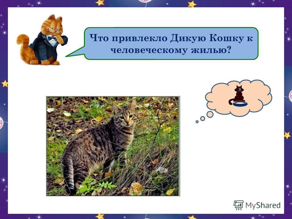 Что привлекло Дикую Кошку к человеческому жилью?
