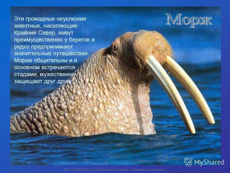 Эти громадные неуклюжие животные, населяющие Крайний Север, живут преимущественно у берегов и редко предпринимают значительные путешествия. Моржи общительны и в основном встречаются стадами; мужественно защищают друг друга:
