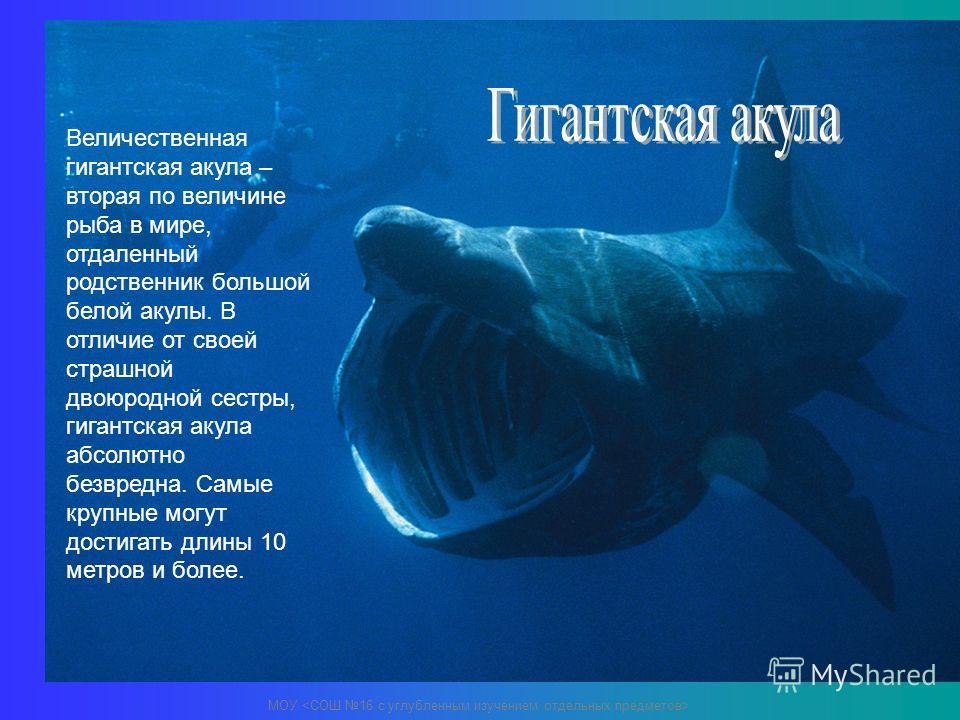 Величественная гигантская акула – вторая по величине рыба в мире, отдаленный родственник большой белой акулы. В отличие от своей страшной двоюродной сестры, гигантская акула абсолютно безвредна. Самые крупные могут достигать длины 10 метров и более.