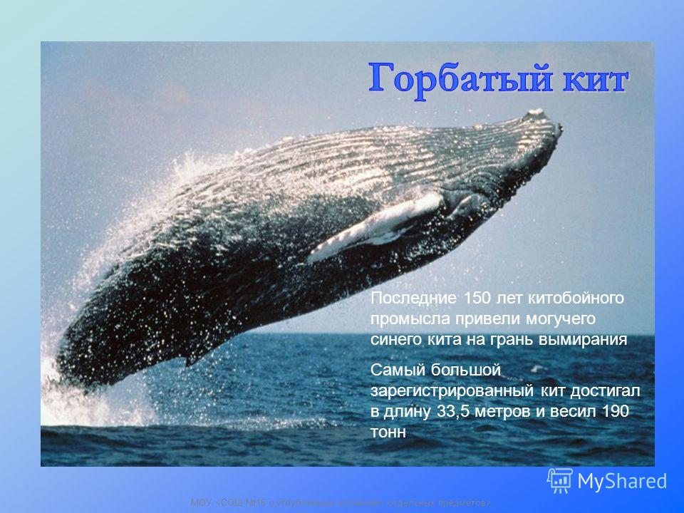 Последние 150 лет китобойного промысла привели могучего синего кита на грань вымирания Самый большой зарегистрированный кит достигал в длину 33,5 метров и весил 190 тонн