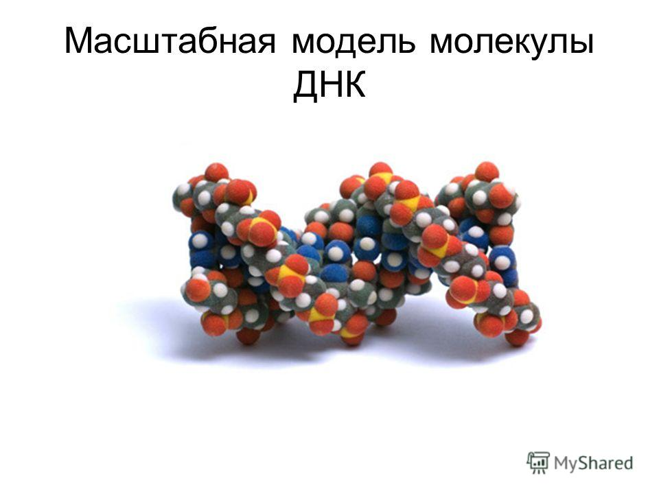Масштабная модель молекулы ДНК