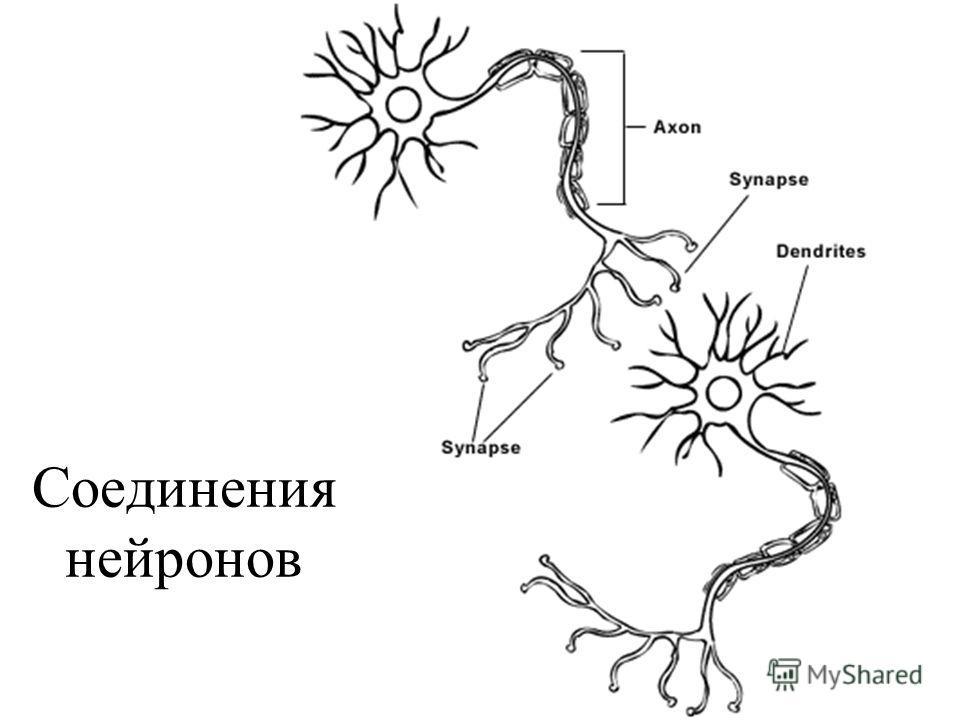 Соединения нейронов