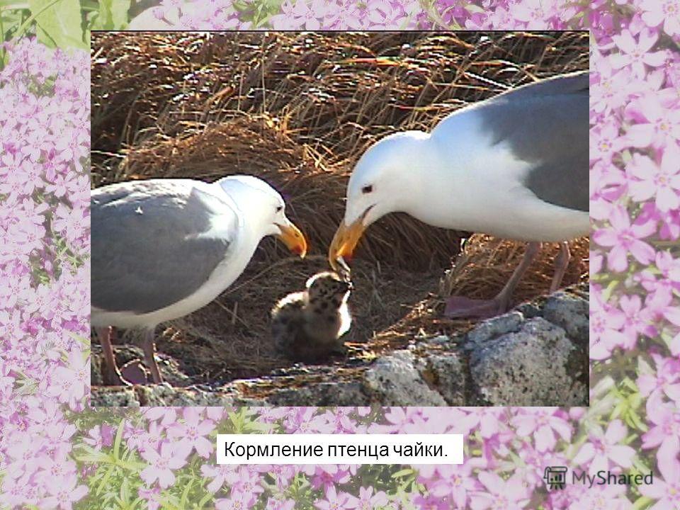 Кормление птенца чайки.