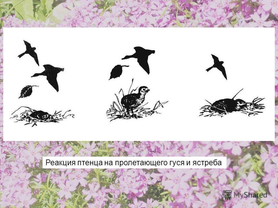 Реакция птенца на пролетающего гуся и ястреба
