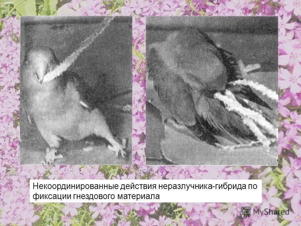 Некоординированные действия неразлучника-гибрида по фиксации гнездового материала