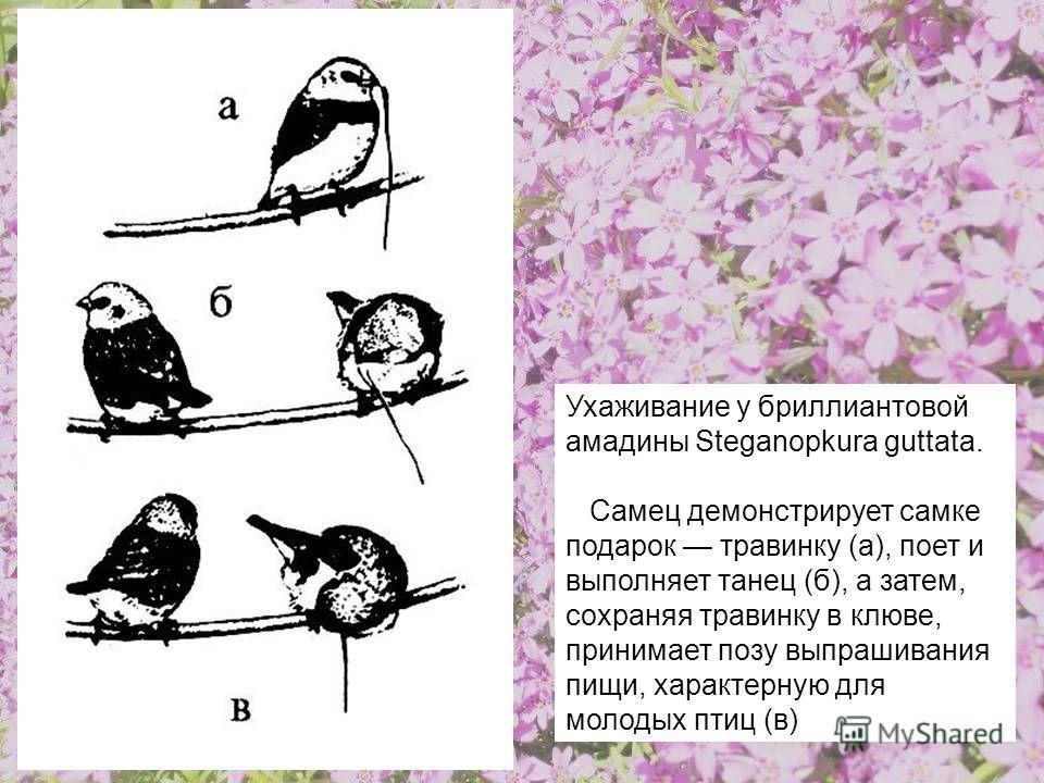 Ухаживание у бриллиантовой амадины Steganopkura guttata. Самец демонстрирует самке подарок травинку (а), поет и выполняет танец (б), а затем, сохраняя травинку в клюве, принимает позу выпрашивания пищи, характерную для молодых птиц (в)