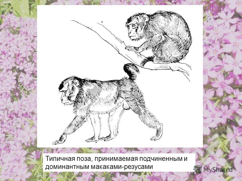 Типичная поза, принимаемая подчиненным и доминантным макаками-резусами
