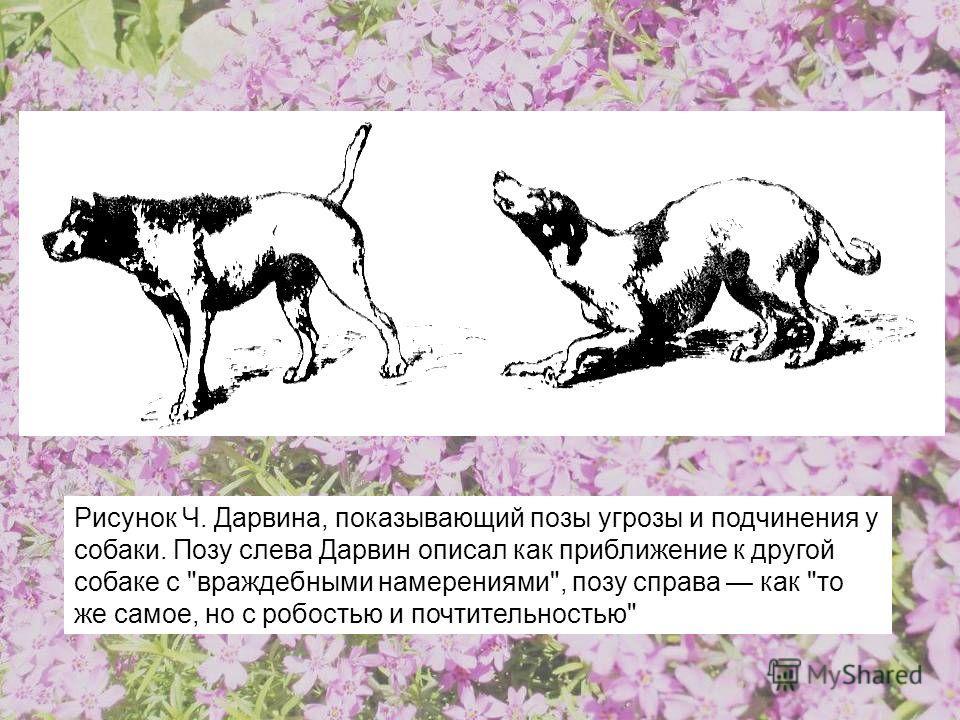 Рисунок Ч. Дарвина, показывающий позы угрозы и подчинения у собаки. Позу слева Дарвин описал как приближение к другой собаке с враждебными намерениями, позу справа как то же самое, но с робостью и почтительностью