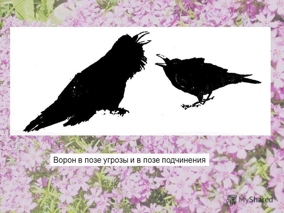 ворона 69 позы фото