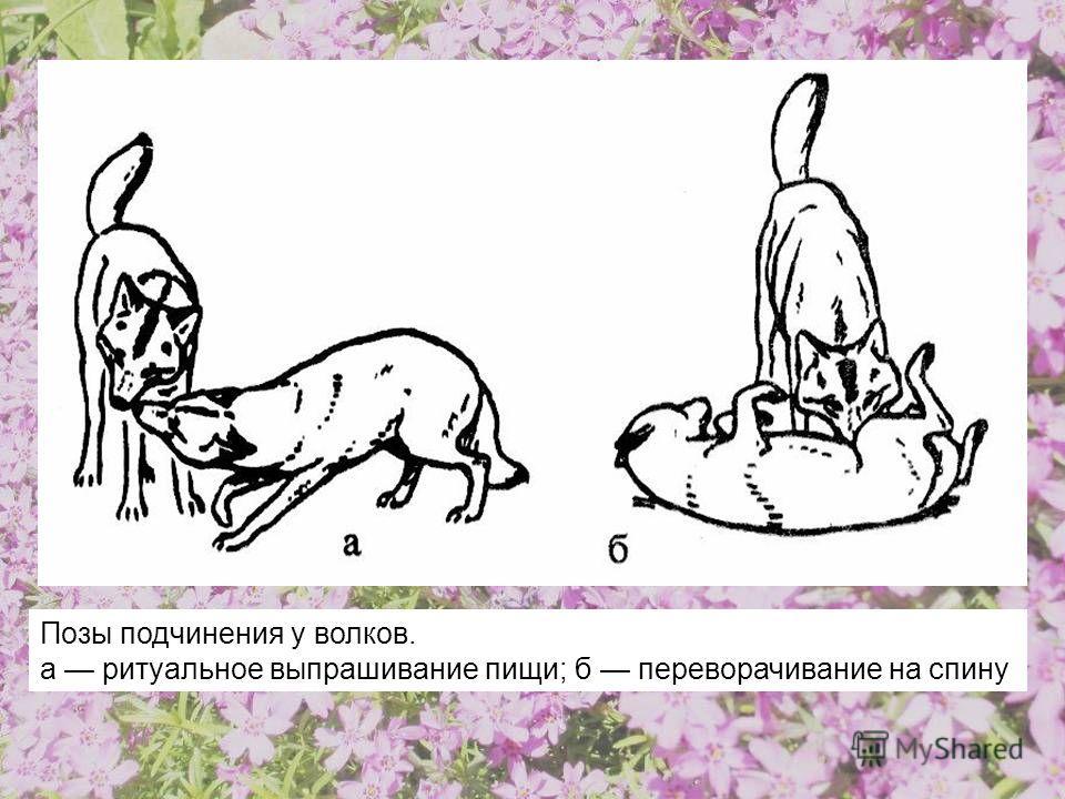 Позы подчинения у волков. а ритуальное выпрашивание пищи; б переворачивание на спину