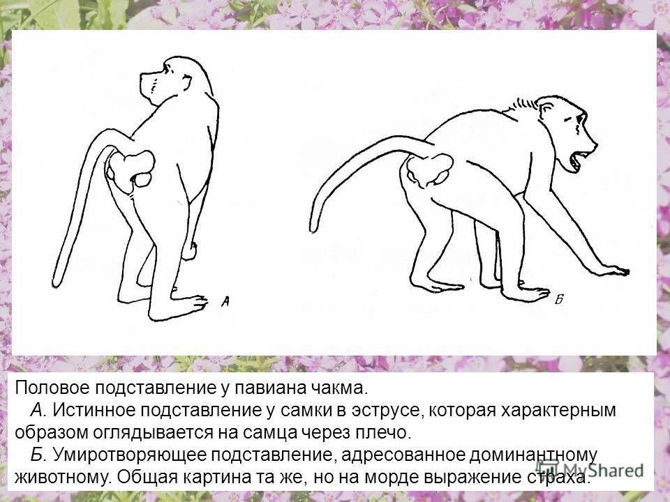 Половое подставление у павиана чакма. А. Истинное подставление у самки в эструсе, которая характерным образом оглядывается на самца через плечо. Б. Умиротворяющее подставление, адресованное доминантному животному. Общая картина та же, но на морде выр