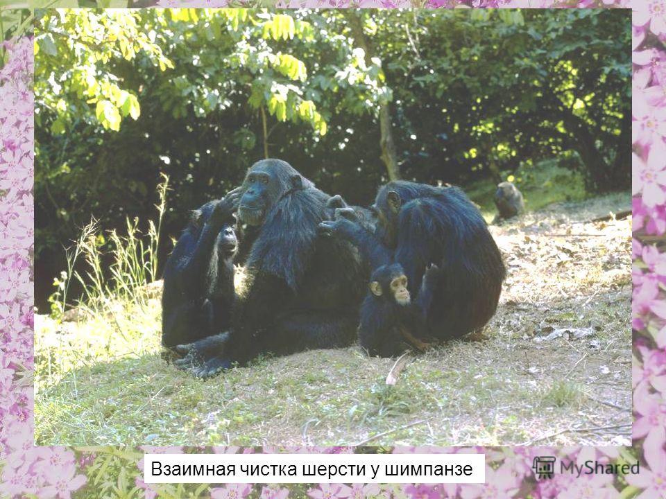 Взаимная чистка шерсти у шимпанзе