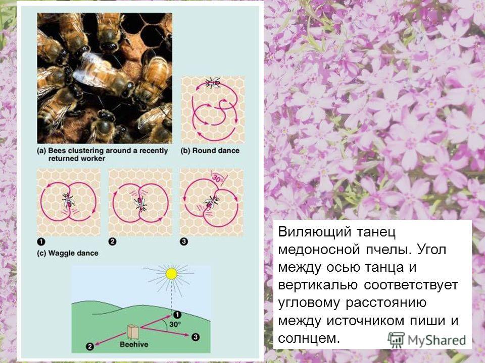 Виляющий танец медоносной пчелы. Угол между осью танца и вертикалью соответствует угловому расстоянию между источником пиши и солнцем.