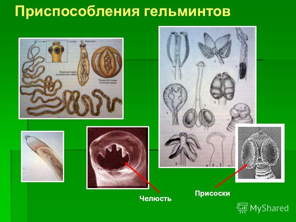 Приспособления гельминтов Присоски Челюсть