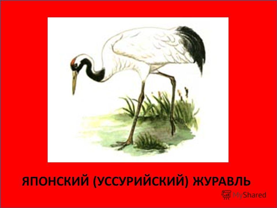 Журавль джек