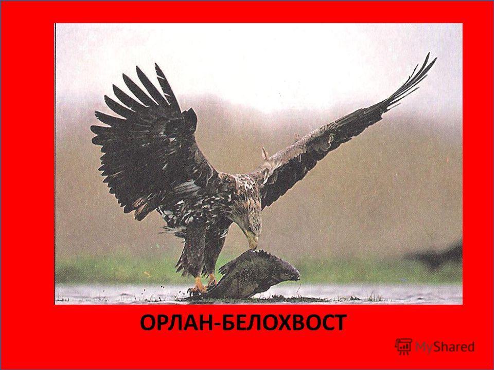 ЯПОНСКИЙ (УССУРИЙСКИЙ) ЖУРАВЛЬ