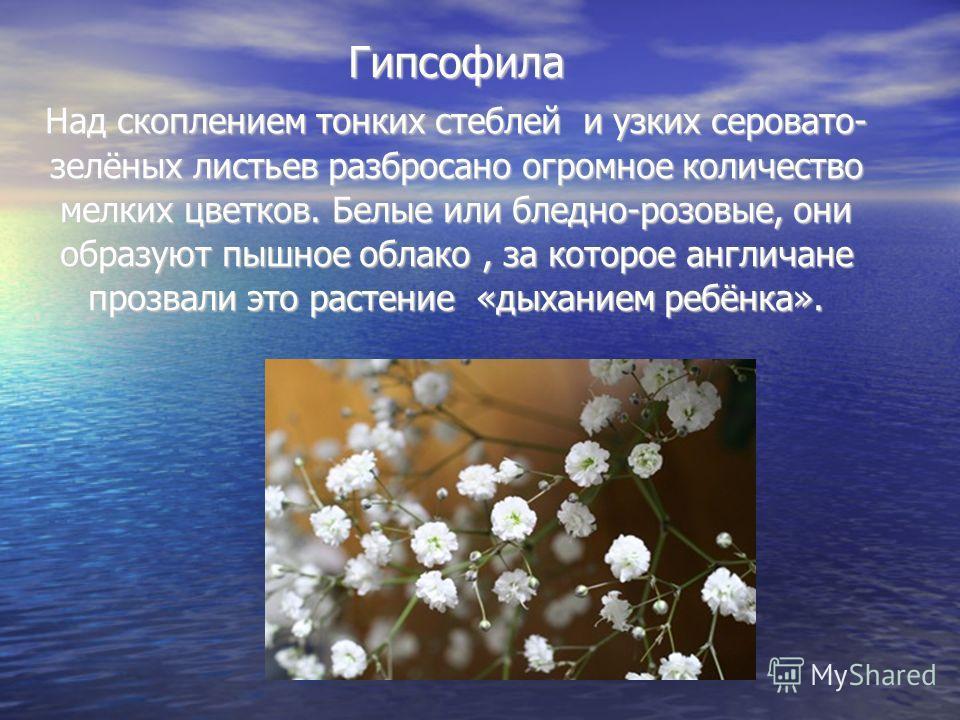 Гипсофила Над скоплением тонких стеблей и узких серовато- зелёных листьев разбросано огромное количество мелких цветков. Белые или бледно-розовые, они образуют пышное облако, за которое англичане прозвали это растение «дыханием ребёнка».