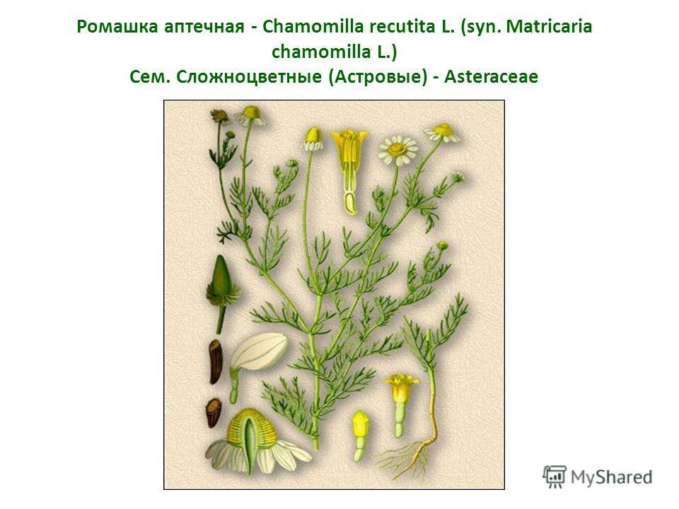 Ромашка аптечная - Chamomilla recutita L. (syn. Matricaria chamomilla L.) Сем. Сложноцветные (Астровые) - Asteraceae