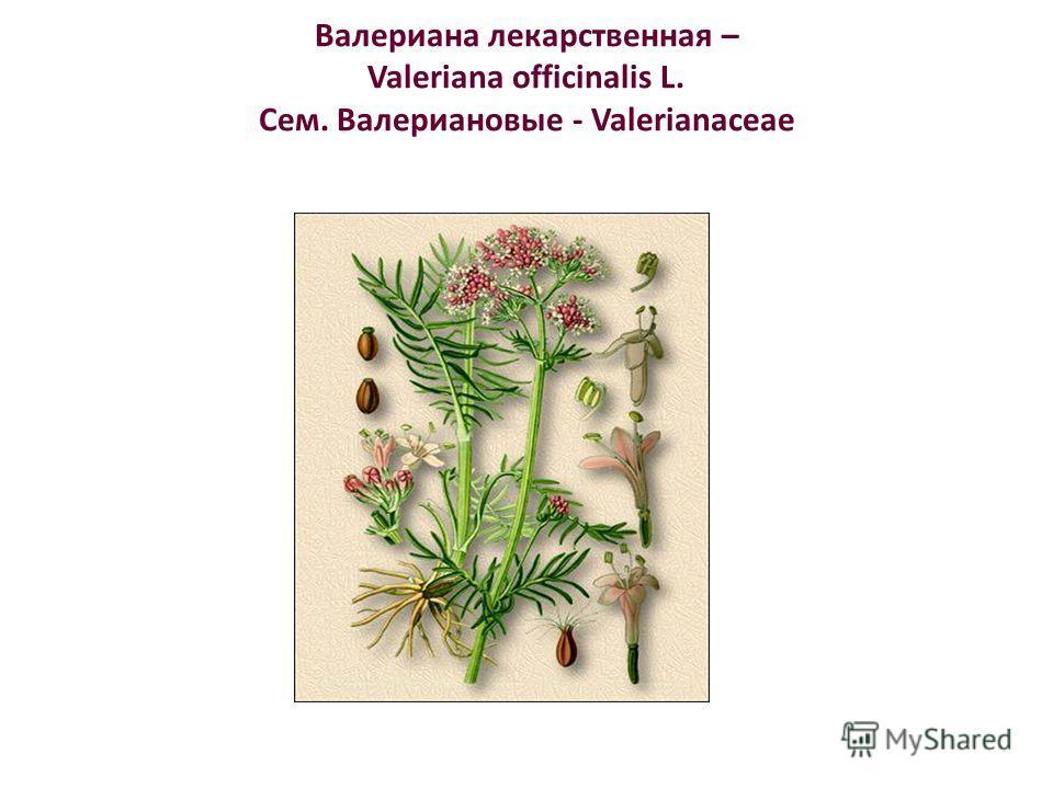 Валериана лекарственная – Valeriana officinalis L. Сем. Валериановые - Valerianaceae