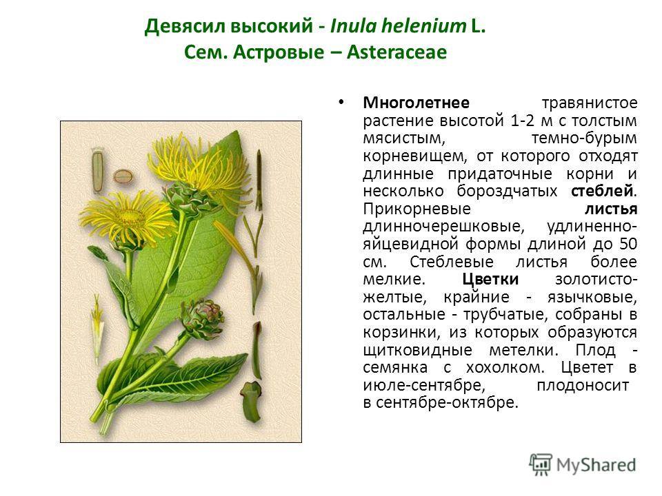 Девясил высокий - Inula helenium L. Сем. Астровые – Asteraceae Многолетнее травянистое растение высотой 1-2 м с толстым мясистым, темно-бурым корневищем, от которого отходят длинные придаточные корни и несколько бороздчатых стеблей. Прикорневые листь