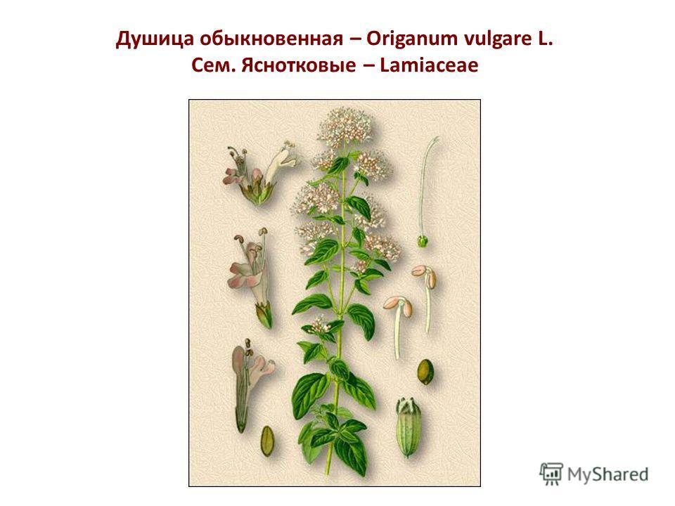 Душица обыкновенная – Origanum vulgare L. Сем. Яснотковые – Lamiaceae