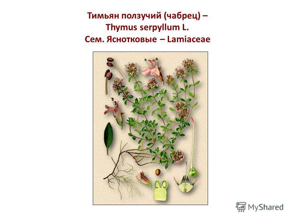 Тимьян ползучий (чабрец) – Thymus serpyllum L. Сем. Яснотковые – Lamiaceae