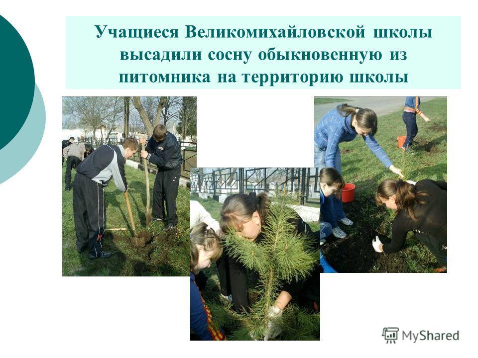 Учащиеся Великомихайловской школы высадили сосну обыкновенную из питомника на территорию школы
