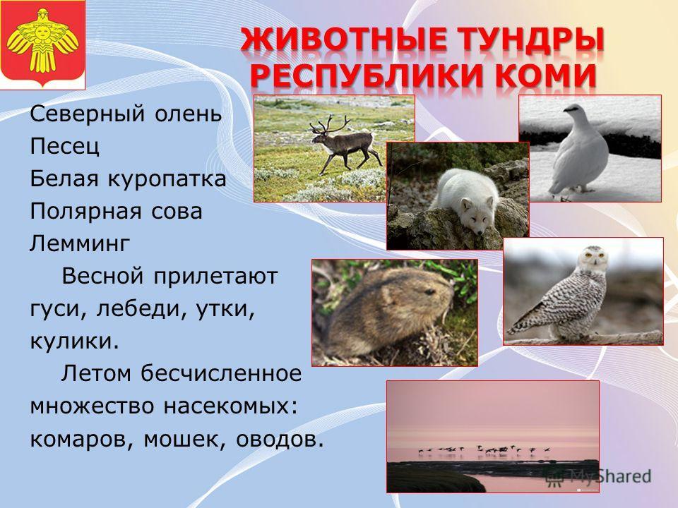 Северный олень Песец Белая куропатка Полярная сова Лемминг Весной прилетают гуси, лебеди, утки, кулики. Летом бесчисленное множество насекомых: комаров, мошек, оводов.