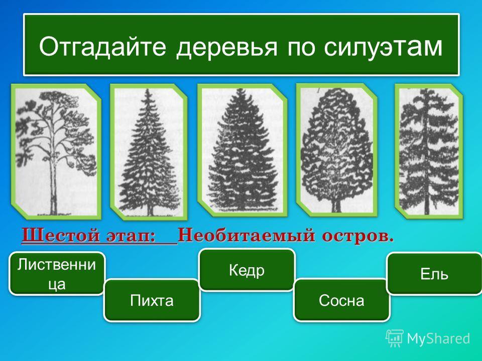 Отгадайте деревья по силуэ там Лиственни ца Пихта Кедр Сосна Ель Шестой этап: Необитаемый остров.