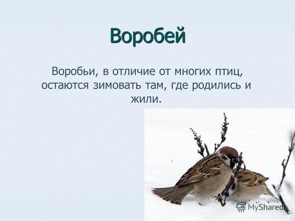 Воробей Воробьи, в отличие от многих птиц, остаются зимовать там, где родились и жили.