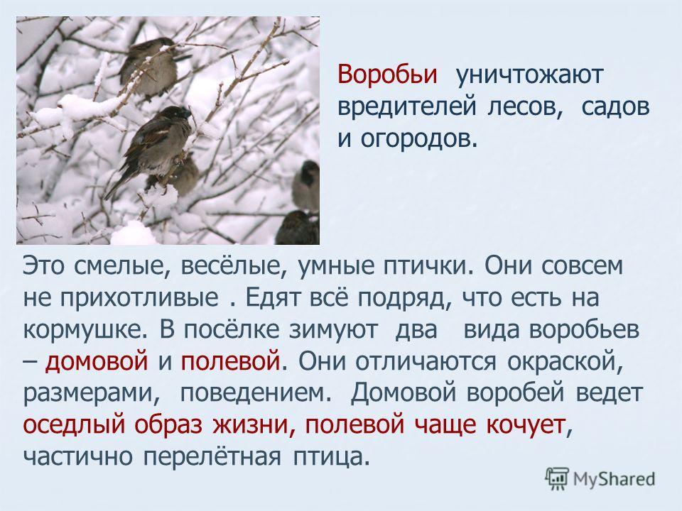 Это смелые, весёлые, умные птички. Они совсем не прихотливые. Едят всё подряд, что есть на кормушке. В посёлке зимуют два вида воробьев – домовой и полевой. Они отличаются окраской, размерами, поведением. Домовой воробей ведет оседлый образ жизни, по