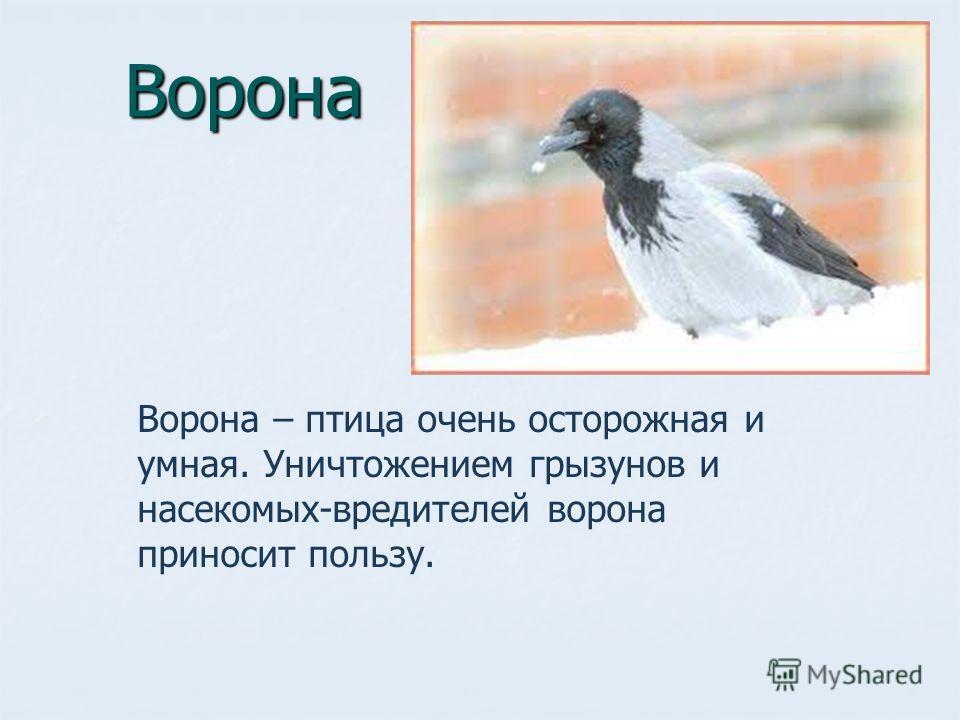 Ворона Ворона – птица очень осторожная и умная. Уничтожением грызунов и насекомых-вредителей ворона приносит пользу.
