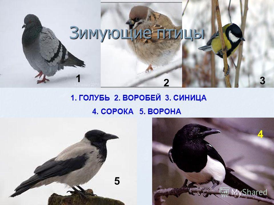1. ГОЛУБЬ 2. ВОРОБЕЙ 3. СИНИЦА 4. СОРОКА 5. ВОРОНА 1 2 3 4 5 Зимующие птицы