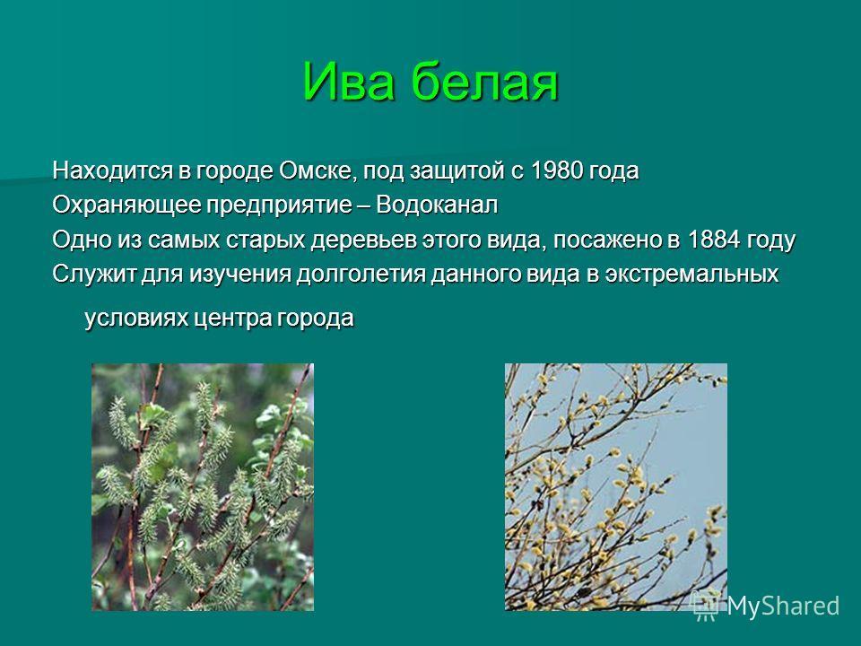 Ива белая Находится в городе Омске, под защитой с 1980 года Охраняющее предприятие – Водоканал Одно из самых старых деревьев этого вида, посажено в 1884 году Служит для изучения долголетия данного вида в экстремальных условиях центра города