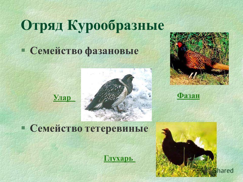 Отряд Курообразные §Семейство фазановые §Семейство тетеревиные Фазан Глухарь Улар