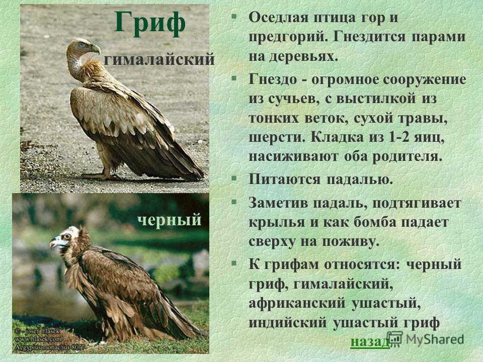 §Оседлая птица гор и предгорий. Гнездится парами на деревьях. §Гнездо - огромное сооружение из сучьев, с выстилкой из тонких веток, сухой травы, шерсти. Кладка из 1-2 яиц, насиживают оба родителя. §Питаются падалью. §Заметив падаль, подтягивает крыль