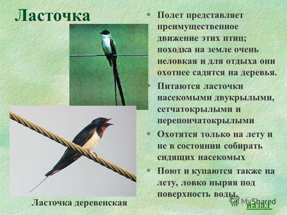 Ласточка §Полет представляет преимущественное движение этих птиц; походка на земле очень неловкая и для отдыха они охотнее садятся на деревья. §Питаются ласточки насекомыми двукрылыми, сетчатокрылыми и перепончатокрылыми §Охотятся только на лету и не