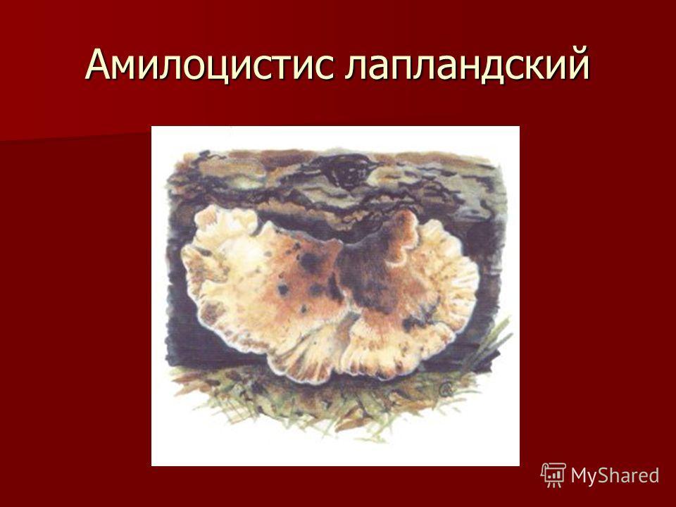 Амилоцистис лапландский