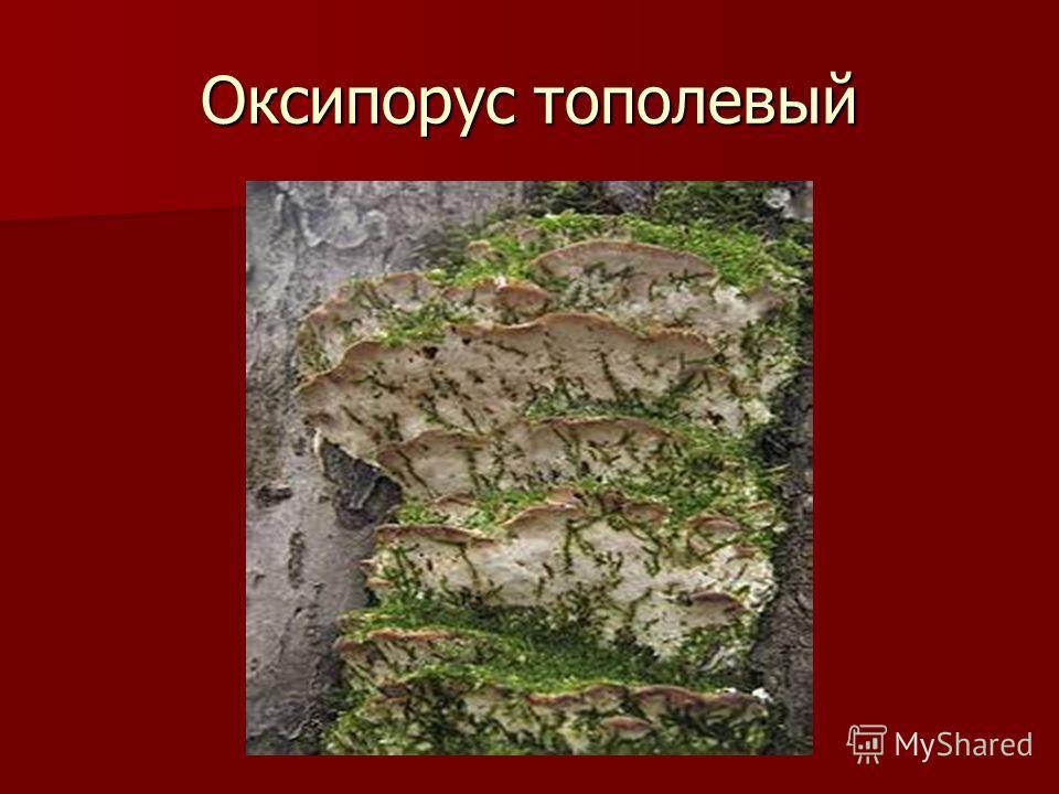 Оксипорус тополевый
