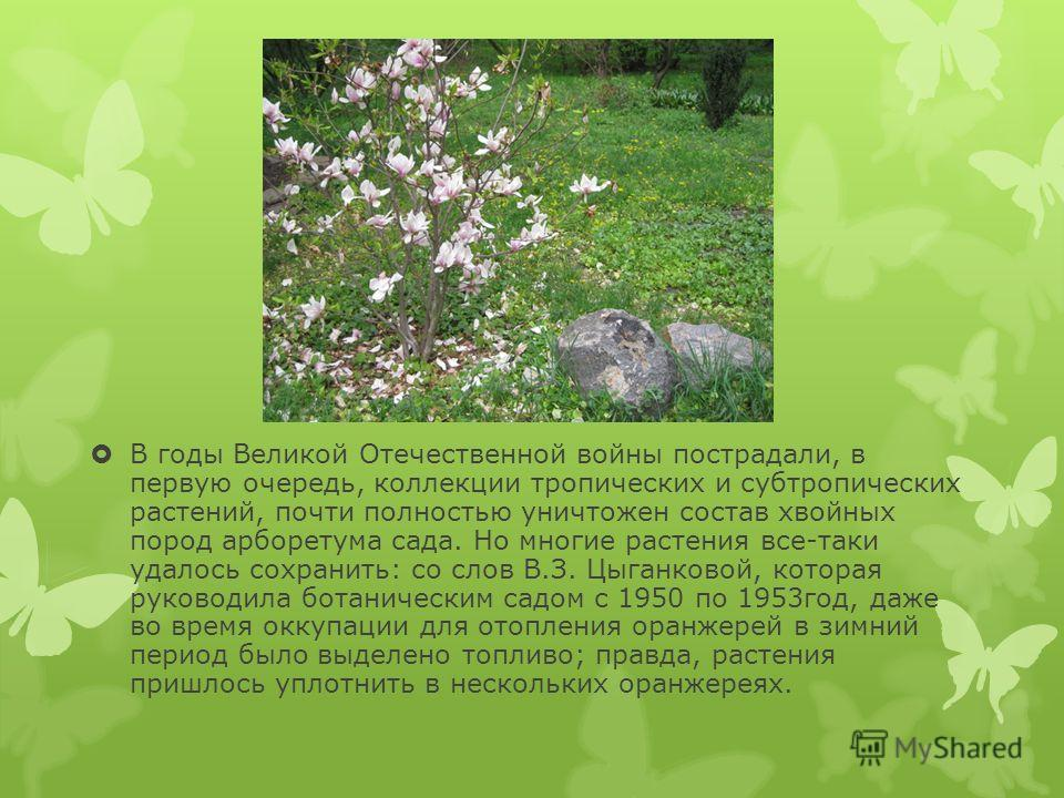 В годы Великой Отечественной войны пострадали, в первую очередь, коллекции тропических и субтропических растений, почти полностью уничтожен состав хвойных пород арборетума сада. Но многие растения все-таки удалось сохранить: со слов В.З. Цыганковой,