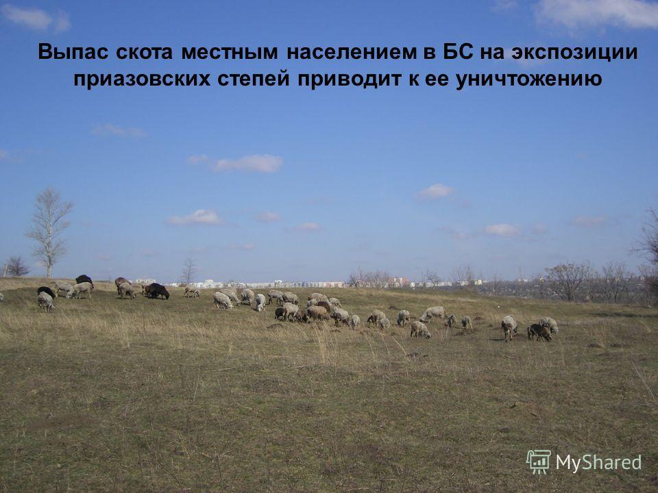 Выпас скота местным населением в БС на экспозиции приазовских степей приводит к ее уничтожению