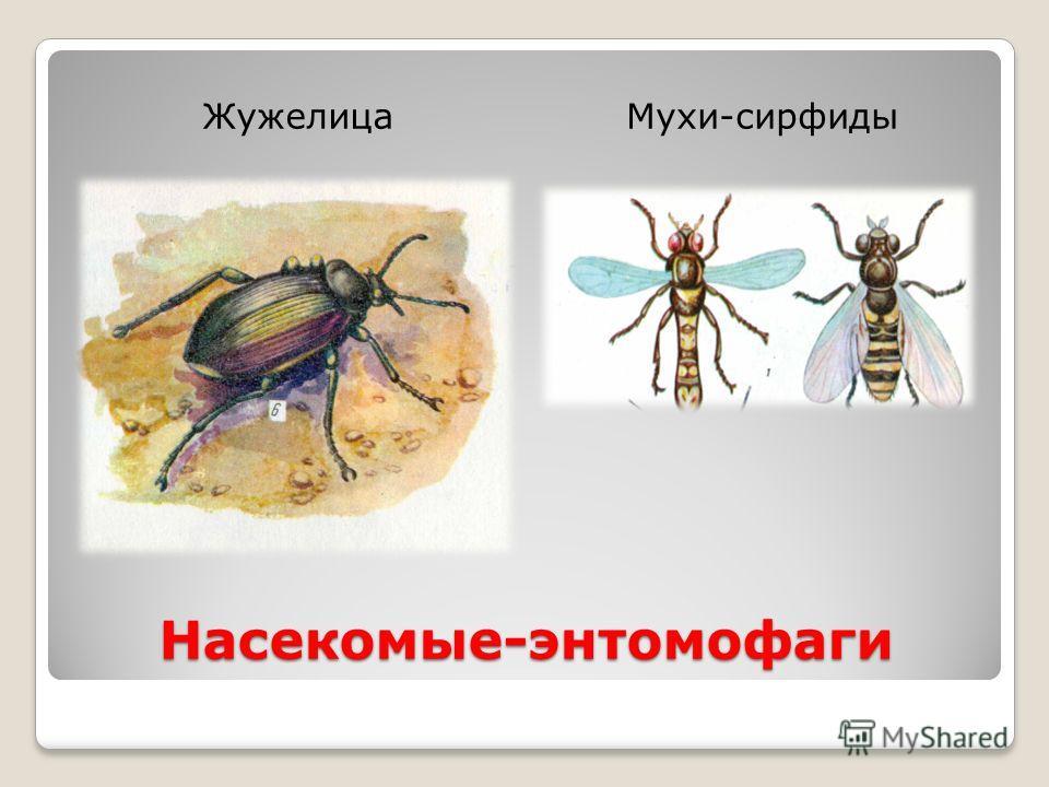 Насекомые-энтомофаги ЖужелицаМухи-сирфиды