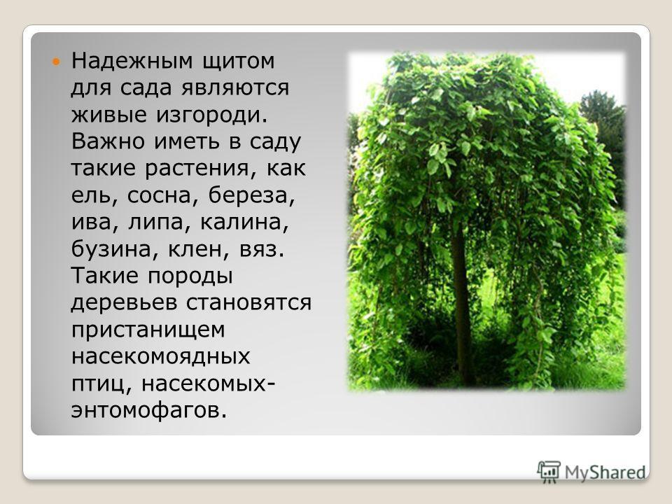 Надежным щитом для сада являются живые изгороди. Важно иметь в саду такие растения, как ель, сосна, береза, ива, липа, калина, бузина, клен, вяз. Такие породы деревьев становятся пристанищем насекомоядных птиц, насекомых- энтомофагов.