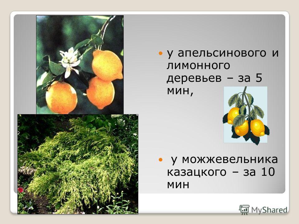 у апельсинового и лимонного деревьев – за 5 мин, у можжевельника казацкого – за 10 мин