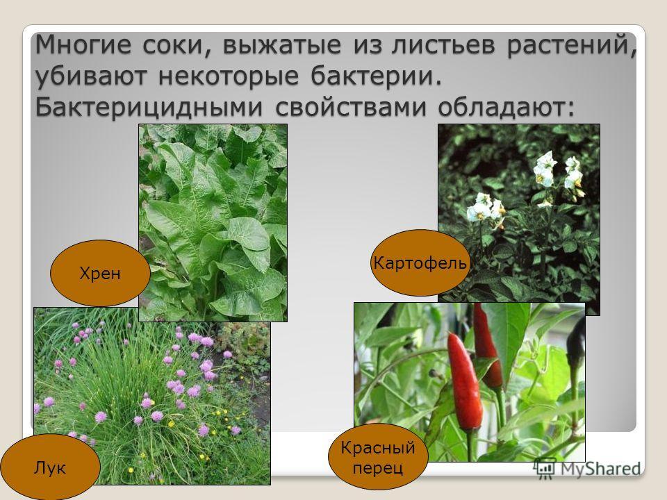 Многие соки, выжатые из листьев растений, убивают некоторые бактерии. Бактерицидными свойствами обладают: Хрен Картофель Лук Красный перец