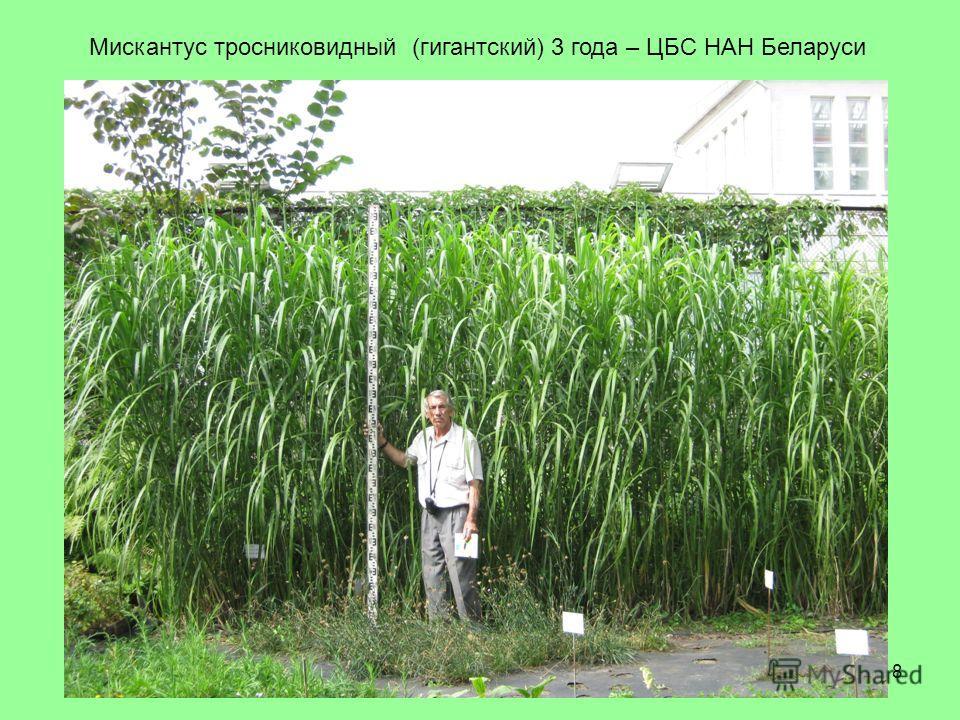 8 Мискантус тросниковидный (гигантский) 3 года – ЦБС НАН Беларуси
